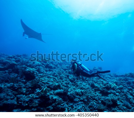 Diver swimming with manta ray - stock photo