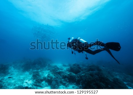 diver underwater with barracuda