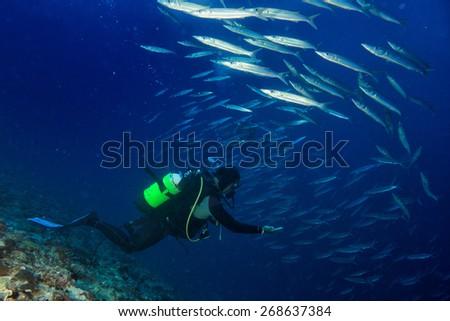 Diver while entering a Barracuda Fish bait ball - stock photo
