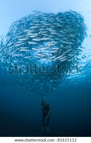 Diver with a camera, filming a huge school of Black Jacks, at the Liberty Wreck at Tulamben, Bali - stock photo