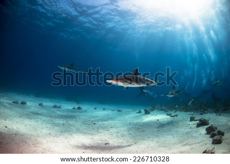Divers being followed by grey reef sharks - stock photo