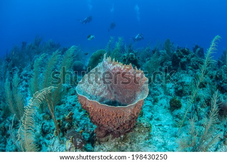 Divers float above a Caribbean reef off Belize. Large, colorful sponges thrive on many reefs in the Caribbean. These filter feeding animals are often toxic and are fed upon by few marine species.  - stock photo