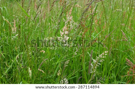 Diverse grasses, plants and seed heads in an uncultivated meadow - stock photo