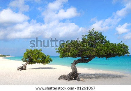 Divi Dive Trees on the shoreline of Eagle Beach in Aruba - stock photo