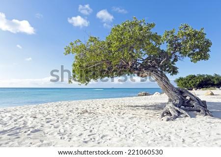 Divi divi tree on Aruba island in the Caribbean - stock photo