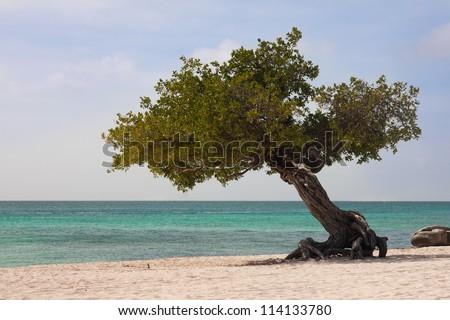 Divi tree on Aruba beach - stock photo