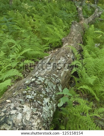 Divided ferns - stock photo