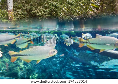 Diving at Salobra river with fishes piraputanga, piau, dourado and others - Nobres - MT - Brazil - stock photo