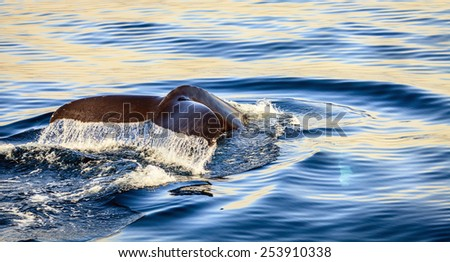 Diving humpback whale in the Skjalfandi Bay in Northern Iceland - stock photo