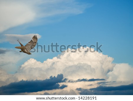 Diving red-tail hawk