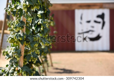 Dixon,USA-August 21,2015: Hops growing at the Ruhstahler Farm and Yard which grows over 20 varieties of hops. The painting is of David Utterback, a grower of hops in the Sacramento hop-growing region.