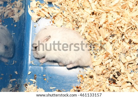 Djungarian Siberian winter Russian white dwarf hamster  lay on floor and seeds near to it