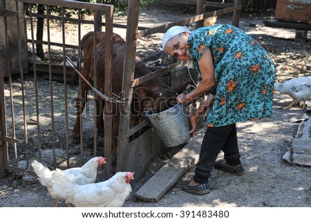 Dnipropetrovsk region, Ukraine - August 25, 2013: An elderly woman is feeding from the bucket Calf grown in the household in rural areas