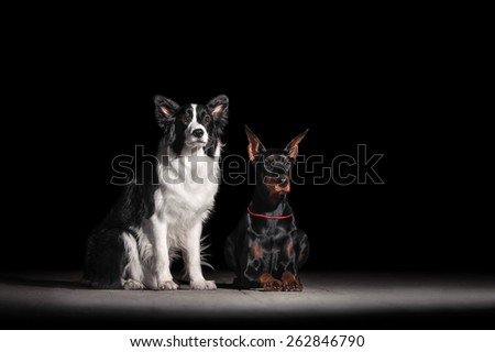 Doberman and Border Collie - stock photo