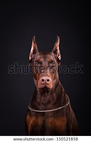 Doberman brown, service dog - stock photo