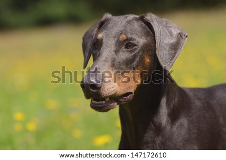 Doberman dog - stock photo