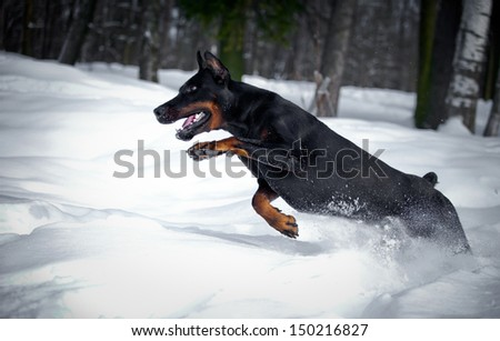 Doberman dog in the snow in winter