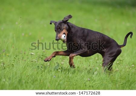 Doberman dog runs - stock photo