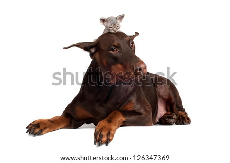 doberman dog with a kitten on its head