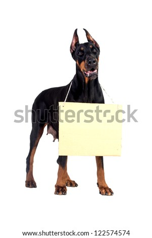 Doberman dog with clear cardboard isolated on white - stock photo