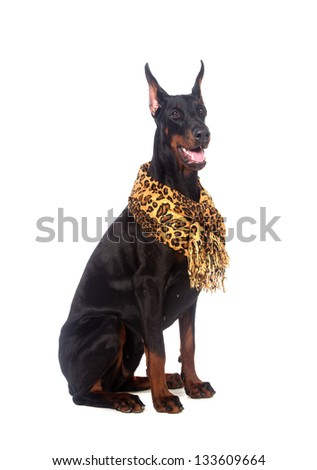 Doberman dog with scarf, isolated on white - stock photo