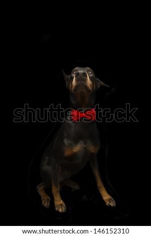 Doberman Dressed in Bowtie - stock photo