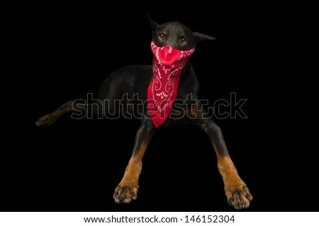Doberman Dressed up as Bully Mugger Thief - stock photo