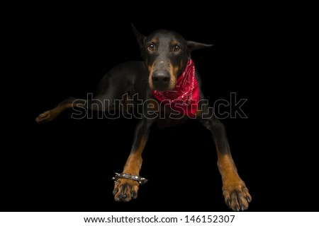 Doberman Dressed up as Punk