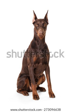 Doberman isolated on a white background - stock photo