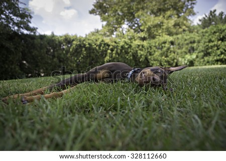 Doberman laying in the grass