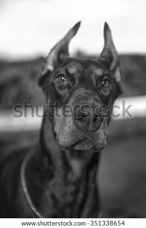 Doberman on the background vetrego city