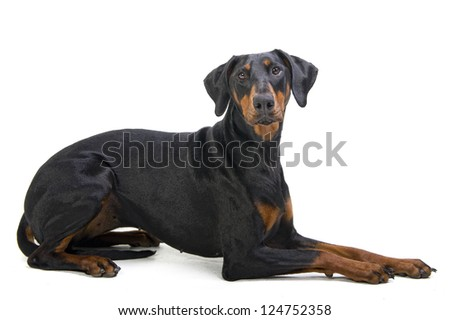 Doberman Pincher dog isolated on white - stock photo