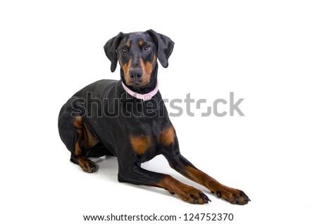 Doberman Pincher dog isolated on white - stock photo