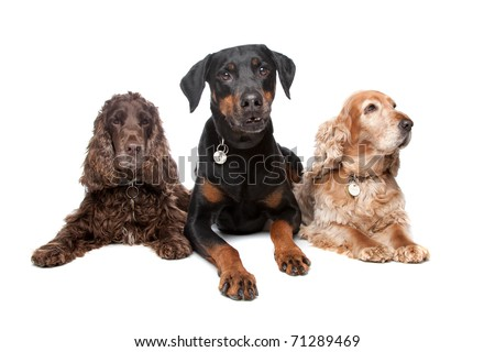 Doberman Pinscher and two cocker spaniel dogs isolated on a white background