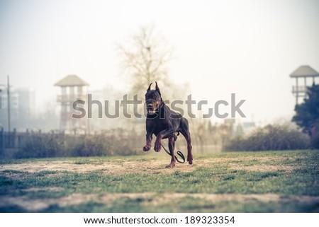 Doberman Pinscher, black German Durbin - stock photo