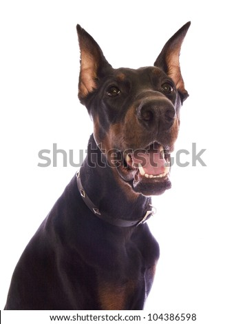Doberman Pinscher dog head shot isolated on white - stock photo