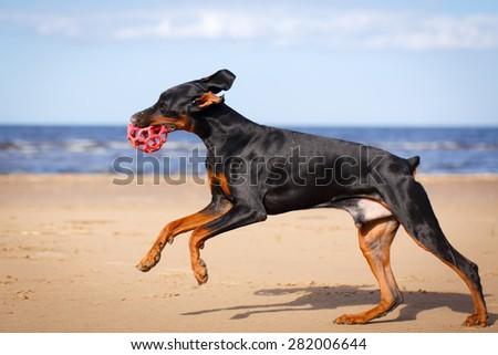 Doberman Pinscher dog in nature - stock photo