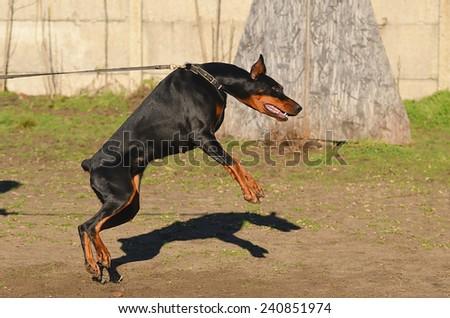 Doberman Pinscher dog in training - stock photo