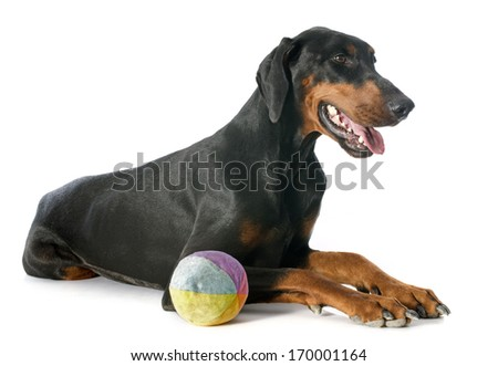 doberman pinscher in front of white background - stock photo
