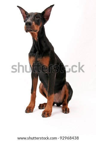 Doberman Pinscher (6 months old) in front of a white background - stock photo