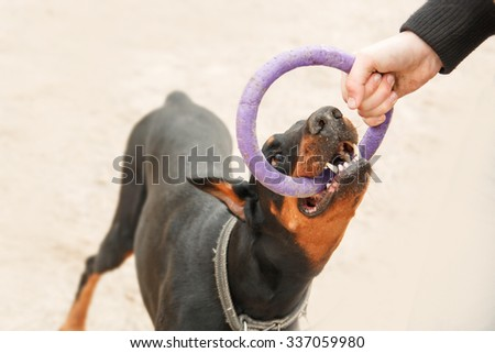 Doberman pinscher playing with a man. Training of the dog. Puller - stock photo