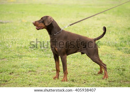 Doberman pinscher portrait in the park