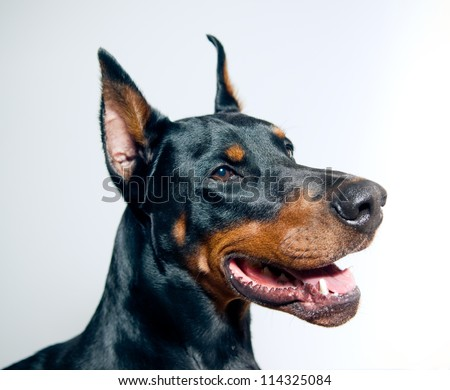 Doberman Pinscher portrait on simple background - stock photo