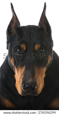 doberman pinscher portrait on white background - stock photo