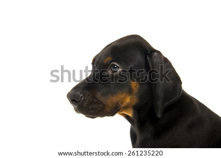 doberman pinscher puppy isolated on white background - stock photo