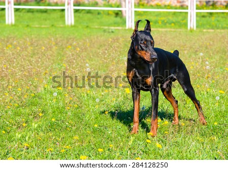 Doberman Pinscher stands. The Doberman Pinscher is on the green grass.