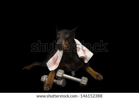 Doberman Pinscher Working Out - stock photo