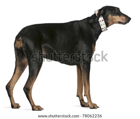 Doberman Pinscher, 9 years old, standing in front of white background - stock photo