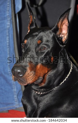 Doberman Pinschers are the breed is well known as an intelligent, alert, and loyal companion dog. Although once commonly used as guard dogs or police dogs, this is less common today.