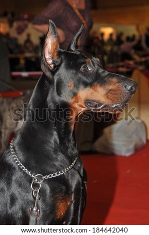 Doberman Pinschers are the breed is well known as an intelligent, alert, and loyal companion dog. Although once commonly used as guard dogs or police dogs, this is less common today. - stock photo